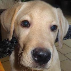 Hasko, chien Labrador Retriever