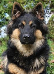 Hasko, Chodsky Pes, chien