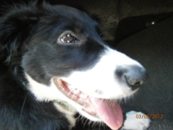 Haska, chien Border Collie