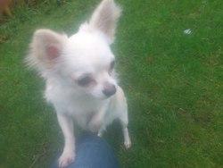 Haskot, chien Chihuahua