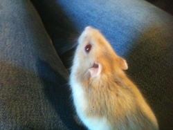 Haslan, rongeur Hamster