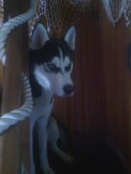 Haslan, chien Husky sibérien