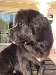 Haslan, chien Terre-Neuve