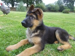 Haslan, chien Berger allemand