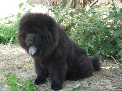 Haslan, chien Chow-Chow