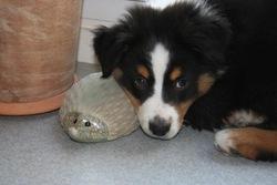 Haslan, chien Berger australien