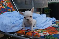 Hasley, chien Bouledogue français