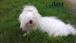 Hasley, chien Coton de Tuléar
