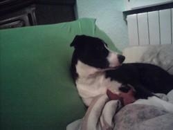 Hasley, chien Dogue argentin