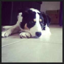Haston, chien Border Collie