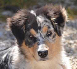 Haston, chien Berger australien