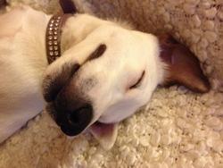 Haston, chien Jack Russell Terrier