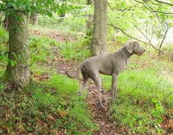 Haston, chien Braque de Weimar