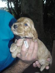 Haston, chien Cocker anglais