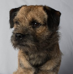 Hastuce, chien Border Terrier