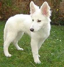 Hasya , chien Berger blanc suisse