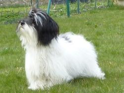 Hatari, chien Bichon havanais