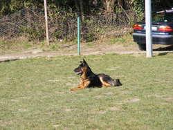 Hatchi, chien Berger allemand