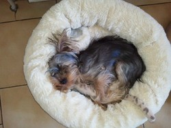 Hatchi, chien Yorkshire Terrier
