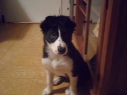 Hatchi, chien Border Collie