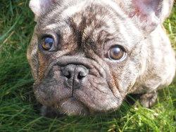 Hatchi, chien Bouledogue français