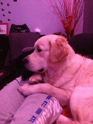Hatchi, chien Golden Retriever