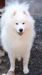 Hatchi, chien Samoyède