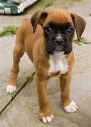 Hatchi, chien Boxer