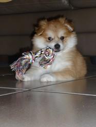 Hatchi, chien Spitz allemand