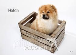 Hatchi, chien Chow-Chow