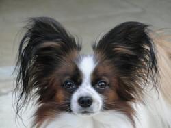 Hatchi, chien Épagneul nain continental