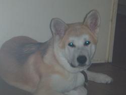 Hatchi, chien Akita Inu