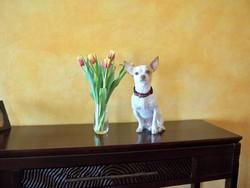 Hatchi, chien Chihuahua