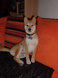 Hatchi, chien Shiba Inu