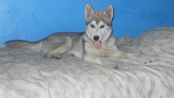 Hatchi-Ko O'Bruce, chien Husky sibérien