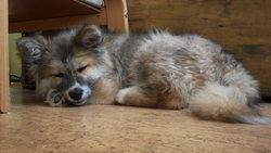 Hatchiko, chien Akita Inu