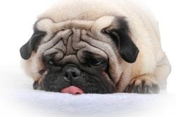 Hatchoum, chien Carlin