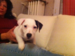 Hatchy, chien Jack Russell Terrier
