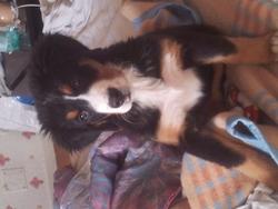 Hathéna, chien Bouvier bernois