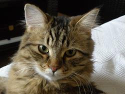 Hathol, chat Sibérien