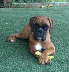 Hathor, chien Boxer