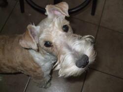 Hathor, chien Fox-Terrier