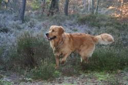 Hatos, chien Golden Retriever