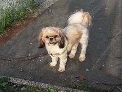 Hatsu, chien Shih Tzu