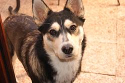 Hatti, chien Husky sibérien
