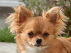 Haubane De La Niche Impériale, chien Chihuahua