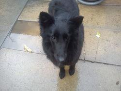 Hauchigawa, chien Berger belge