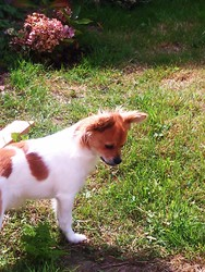 Haurus, chien Chihuahua