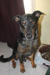 Haurus, chien Beauceron