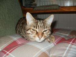 Havana, chat Gouttière